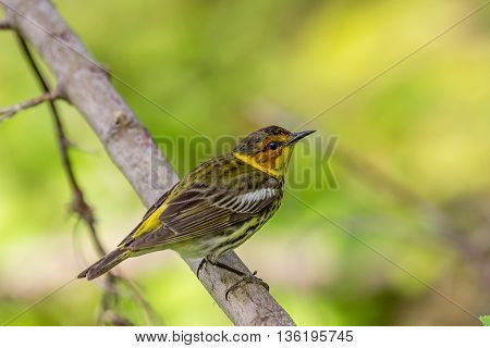 Cape may warbler songbird (Setophaga tigrina) perched on branch during springtime migration