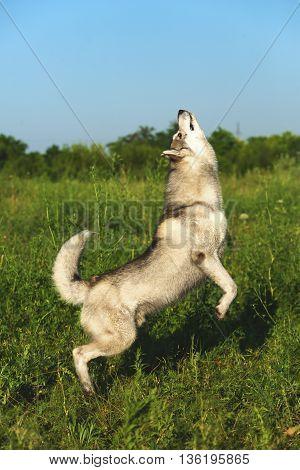 Dog breed Siberian husky jumps on its hind legs.