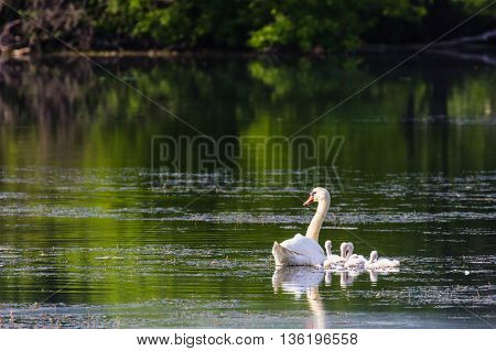 Adult mute swan (Cygnus olor) with cygnets floating on water at dawn