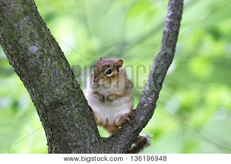 Brown chipmunk sitting on tree branch in woods