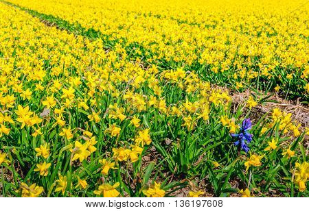 Striking purple-blue flowering hyacinth plant among a large field full of yellow blooming daffodils at a specialized nursery in the Netherlands. It's a sunny day in the spring season.
