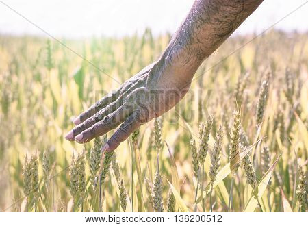 Afro american man hand caress cone in summer day with back lighting - Black guy walking through field of wheat grass - Freedom and landscape concept - Soft war filter - Soft focus on hand