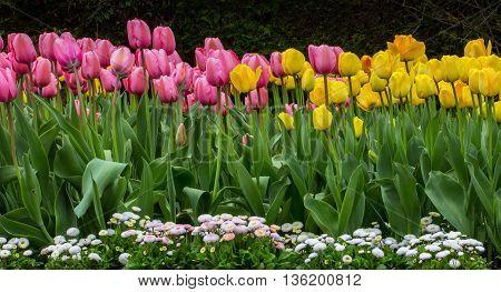 In springtime bloom tulips and bellis in a flowerbed.
