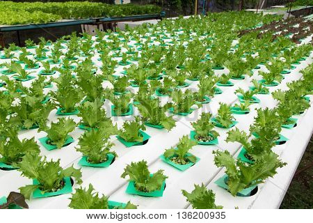 Hydroponic vegetables growing in greenhouse. hydroponic, farm,