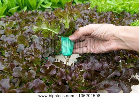 Organic hydroponic vegetable on hand in garden.