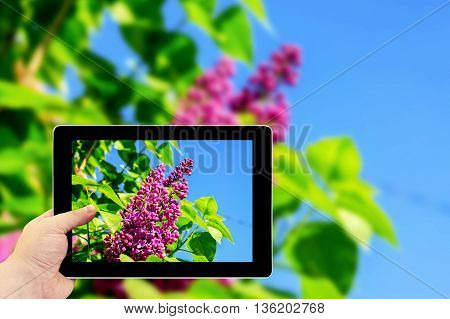 Tablet Photography Concept. Taking Pictures On A Tablet. Green Branch With Spring Rose Lilac Flowers
