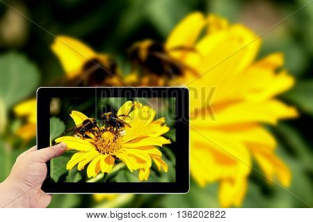 Tablet Photography Concept. Taking Pictures On A Tablet. Two Bees Collects Pollen From Yellow Flower