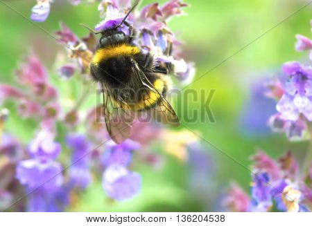 Bee collecting nectar from a lilac flower