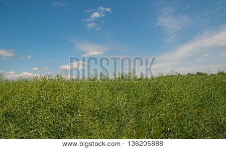 rapeseed field before harvesting. A close up