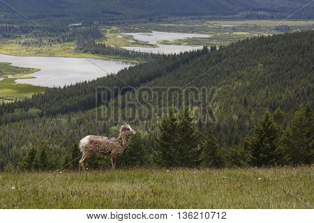 Rocky Mountain Bighorn Sheep - Banff National Park
