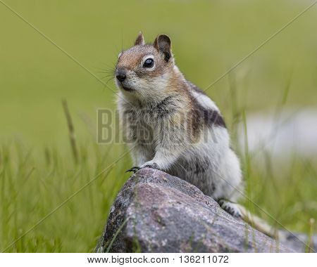 Golden-mantled Ground Squirrel - Jasper National Park