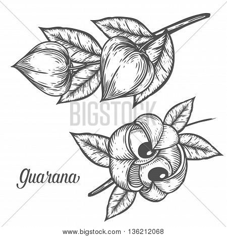 Guarana Seed, Fruit Berry Energetic Diet Caffeine Plant Superfood Energy Drink And Herbal Tea Ingred