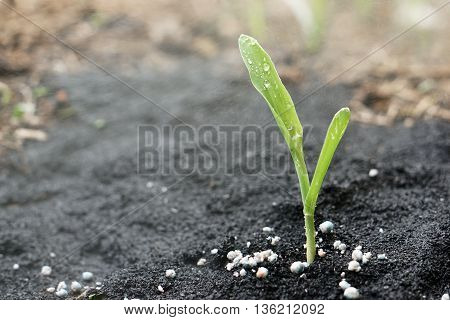 close up of corn seedling with granular fertilizer on the ground and water spray