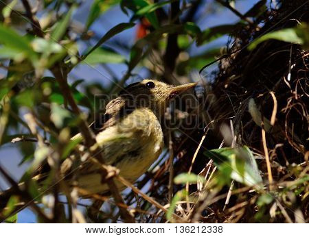 Common chiffchaff bird beside its nest to feed the chicks