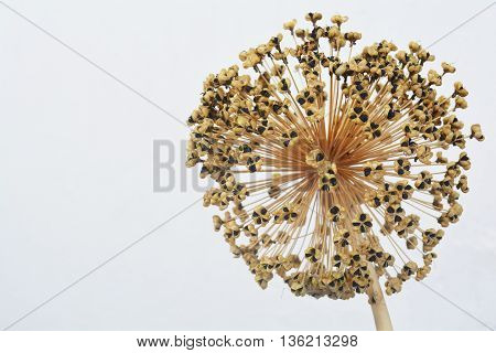 seeds ornamental onion, dry flower, herbarium of wild onions