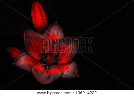 wild fire red flower with a bud on a black background