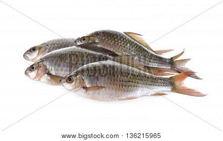 group of Labiobarbus siamensis fish on white background