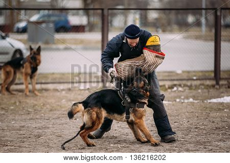 Gomel Belarus - February 20 2016: German shepherd dog training. Biting dog goes after attacker. Alsatian Wolf Dog. Deutscher dog