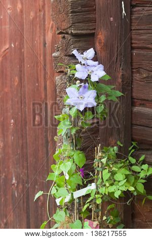 a light blue clematis against a red wall