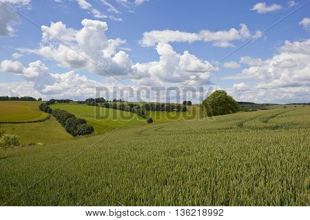a ripening wheat crop in the scenic yorkshire wolds under a blue cloudy sky in summer