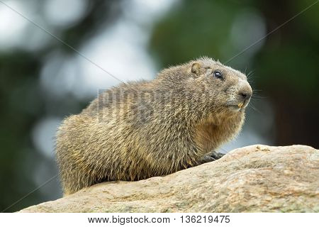 Closeup of Alpine Marmot sitting on rock during summer in Austria, Europe. Blurred background