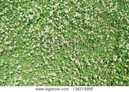Beautiful field of white clovers or trefoil (Trifolium) , with white clover flowers blooming. Shot from above. Found one four leaf clover in the shot.
