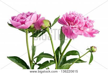 pink peony on a white background. flower
