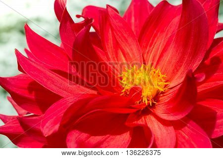 sunlight gleam over big beautiful flame red dahlia with yellow pollen on blurred white garden background. macro shot.