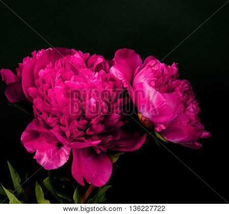 Rare type peony on black background. flover