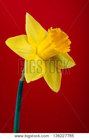 yellow narcissus on red background . flower