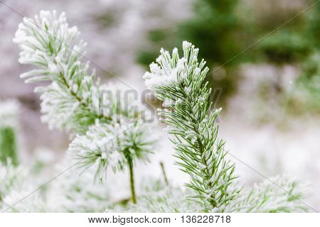 Pine branches with needles covered in snow