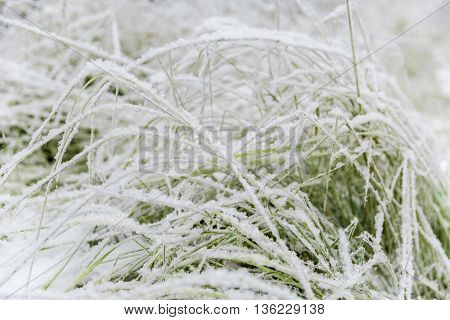 green grass covered with snow on the meadow