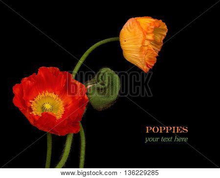 Studio Shot of Red Colored Poppy Flowers Isolated on black Background.