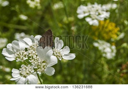 Butterfly perched on white meadow flower closeup