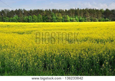 Yellow flowering rapeseed field in the future. Forest nd blue sky in the background.