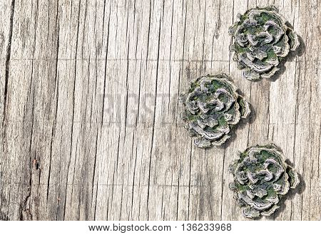 Weathered lined wooden board with three mushrooms growing from it.