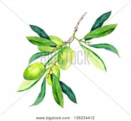 Olive branch - green olives vegetables and leaves. Watercolor