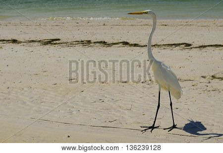 Great Egret on the Gulf of Mexico.