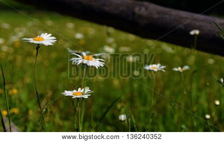 Nice marguerite flower on spring meadow with yellow and white bloom