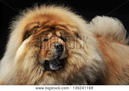 nice Chow Chow enjoying the photo session