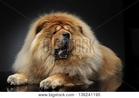 beautyful Chow Chow look loke a lion