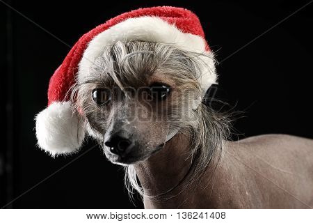 Chinese Crested Dog dressed up Santa Claus