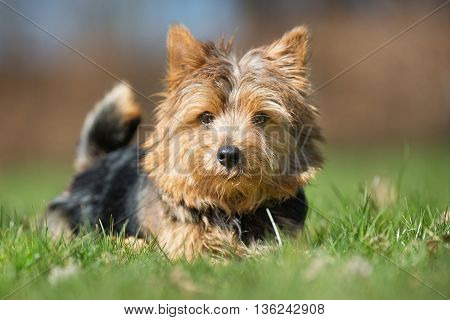 Yorkshire Terrier Dog Outdoors In Nature
