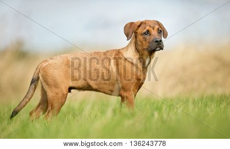 Young Brown Dog