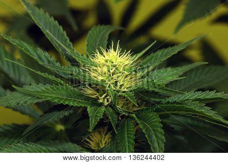 Akorn variety of marijuana flower in detail of bloom