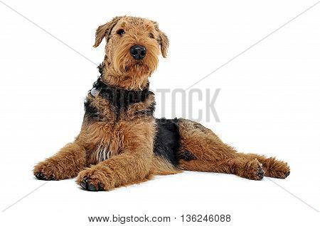 Airedale Terrier Lying On The White Studio Floor And Looking Up