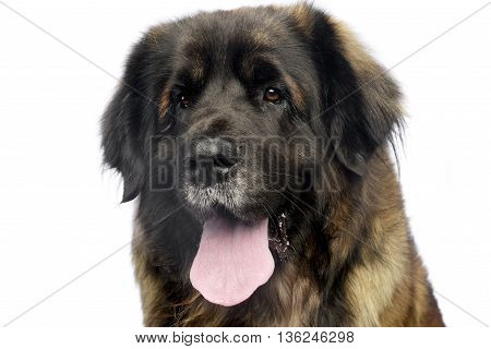 Leonberger Portrait With White Background In Studio