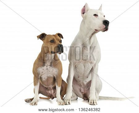 Argentin Dog And Staffordshire Terrier On The White Floor