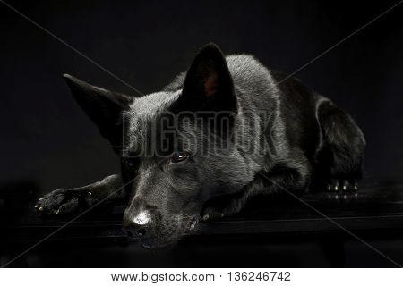 Black German shepherd in the dark studio