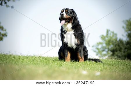 very nice Bernese Mountain Dog in the park